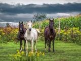 Three Horses 20130814