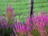 Purple Loosestrife 20130820