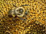Bee On Sunflower Closeup DSCF08385