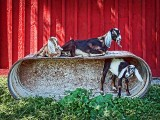 Goats & Trough DSCF08420
