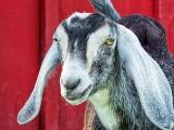 Lop-eared Goat DSCF08416
