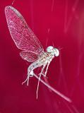 Cross-eyed Bug DSCF08474-6