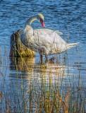 Wading Swan DSCF09753