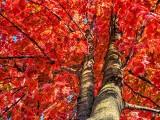 Up An Autumn Tree DSCF09742