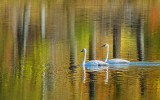 Two Swans Aswimming DSCF10151