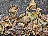 Autumn Leaves DSCF09816