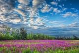 Field of Purple Loosestrife DSCF07372-4