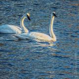Two Swans Aswimming DSCF11544