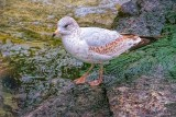 Gull On The Rocks DSCF11415