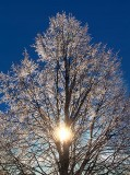 Iced Tree 20131224