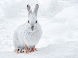 Snowshoe Hare 20140219