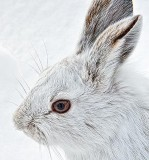 Snowshoe Hare Profile DSCF13617
