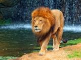 Lion 3545