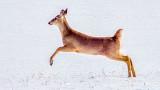 Bounding Deer 20140307