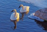 Two Swans Aswimming At Sunrise 20140309