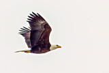 Bald Eagle In Flight (crop) 20140311