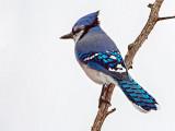 Blue Jay DSCF14189