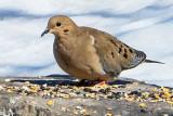 Dove On A Seedy Rock P1000245