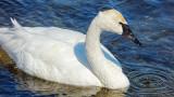 Swan Aswimming P1000393