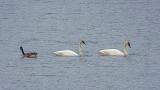 Goose & Two Swans DSCF14364