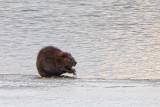 Beaver On Ice 20140401