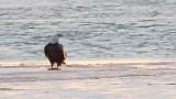 Eagle On Ice P1010070