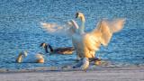 Swan At Sunrise 20140406
