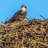Osprey On Nest P1010552-4