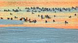Migrating Ducks At Sunrise 20140411