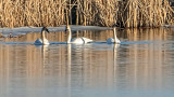 Swans In The Swale P1020152
