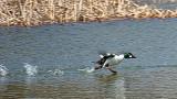 Running Duck P1020569