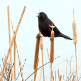 Red-winged Blackbird P1020689