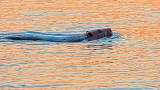 Swimming Beaver At Sunrise 20140423