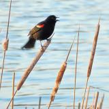 Bird On A Cattail P1030049
