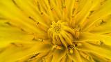 Young Dandelion Closeup DSCF14610-9