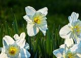 Backlit Daffodils P1030554