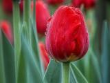 Wet Red Tulip 20140515
