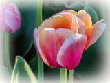 Pink & Orange Tulips DSCF15054