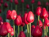 Red Tulips DSCF15003