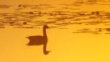 Goose Swimming At Sunrise P1030909-11