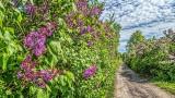 Lilac Lane P1030970