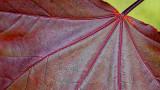 Crimson King Maple Leaf Closeup 20140528