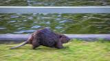 Stranded Beaver 20140531