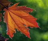 Backlit Leaf DSCF15828