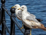 Two Gulls P1040316