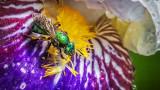 Green Bee On A Wet Iris DSCF15885