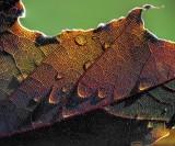 Wet Backlit Leaf DSCF15998-01