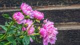 Pink Peonies P1050138