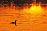 Loon At Sunset P1050385
