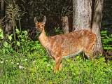 Roadside Deer DSCF16206